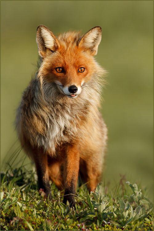 Fox by Gabi Marklein | Fuchs Fotos & Bilder auf fotocommunity