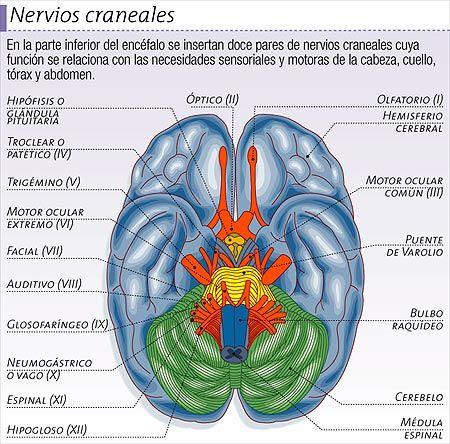 SISTEMA NERVIOSO PERIFÉRICO Incluye los pares craneales y los nervios espinales, que salen del cerebro y la médula espinal respectivamente. Transmiten impulsos neurales que proviene desde los órganos sensoriales y receptores sensitivos del cuerpo y envían información hacia los músculos y glándulas.