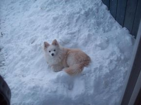 Bear the American Eskimo Dog / Pomeranian Mix