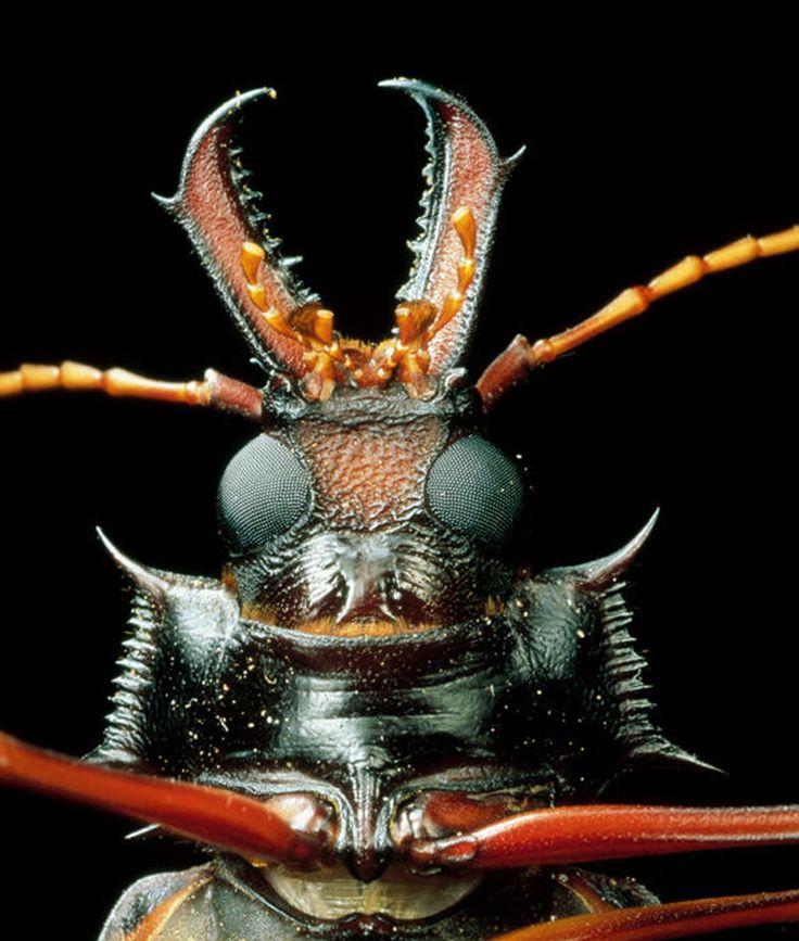 Under scanning electron microscope; Longhorn Beetle