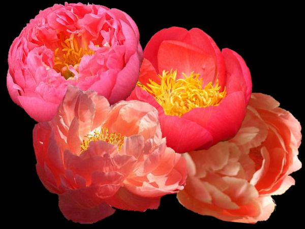 CORAL PEONIES COLLECTION at Peony Farm, touch of coral for the garden