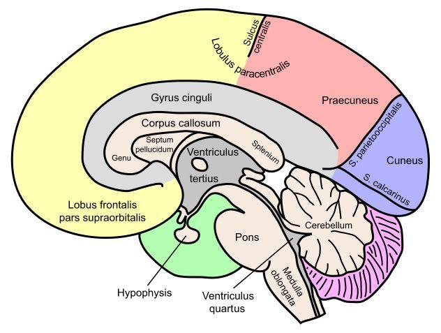 File:Gehirn, medial - beschriftet lat.svg