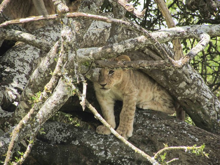 A lion cub plays in a tree. #Africa #Travel #wildlife