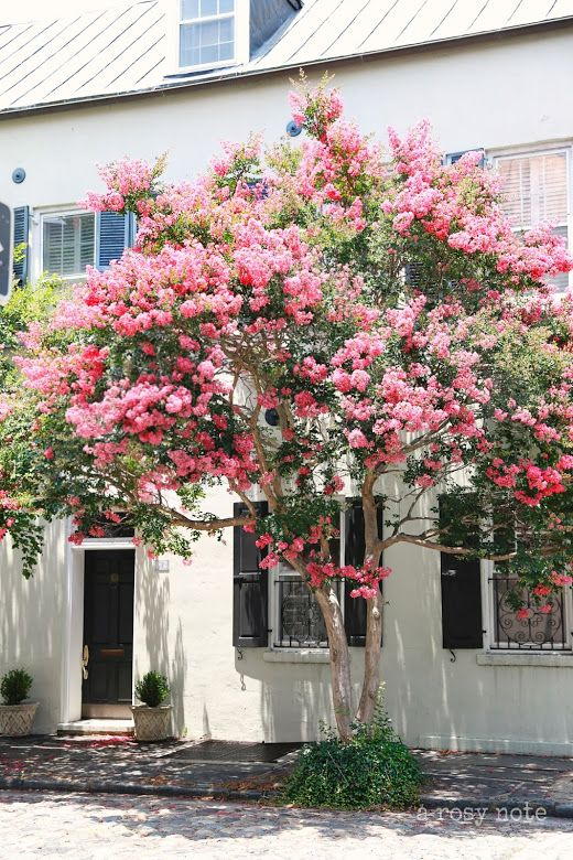 Summertime in Charleston, blooming crepe myrtle. what a beautiful tree to have in front of your house