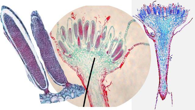 Ciencias de Joseleg: 4 REPRODUCCIÓN Y CICLO DE VIDA DE LOS MUSGOS Y OTROS BRIOFITOS