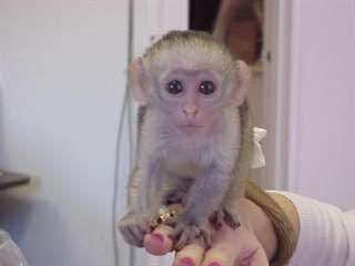 Donne bébé singe capucin femelle - Cliquez ici pour fermer