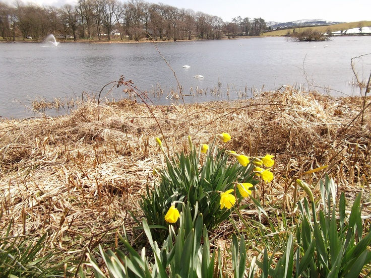 Some are in urban settings too, this is early spring on a loch on the edge of a town.