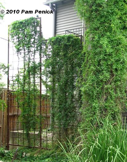 Marvelous Tall Metal Trellis Serves As A Privacy Screen.