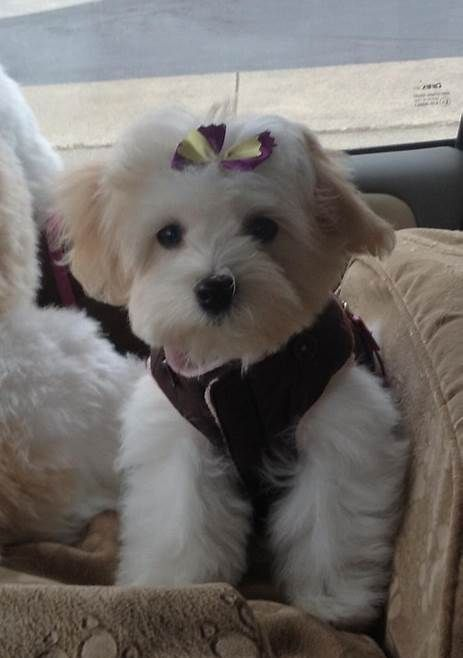 Image result for Black and White Maltipoo Adult