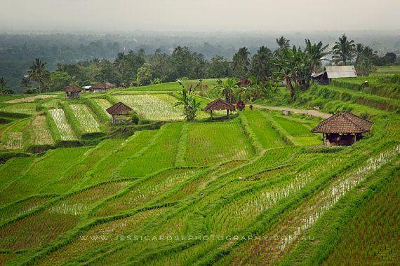 Photography Print Photograph BALI rice fields by jessicarosephoto