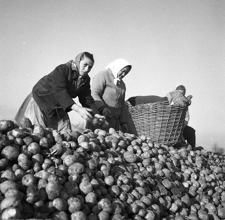 Krumpliszedők.