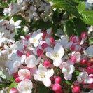 Viburnum burkwoodii 'Mohawk' - Sneeuwbal - De Tuinen van Appeltern