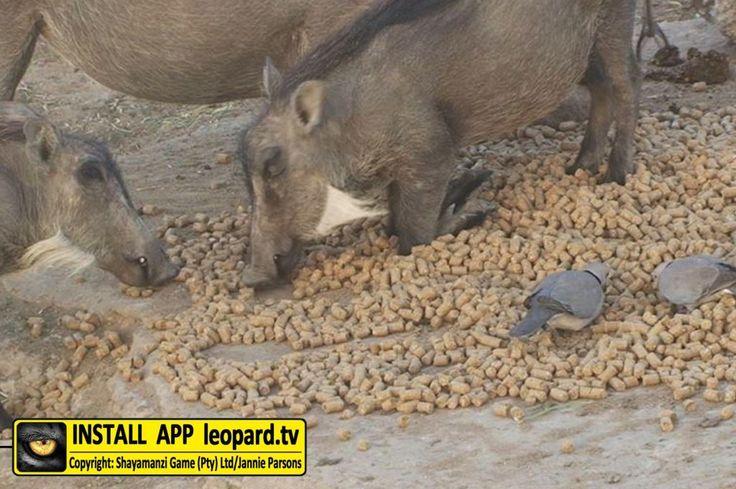 Beautiful photos of Warthog at Shayamanzi! #leopardtv #animals #wildlife
