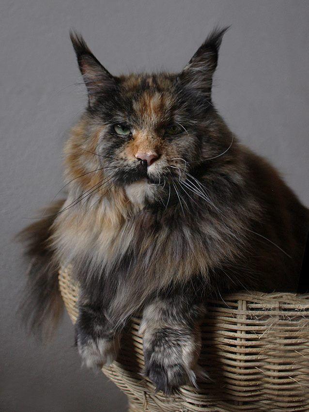 Tortie Maine Coon Cat