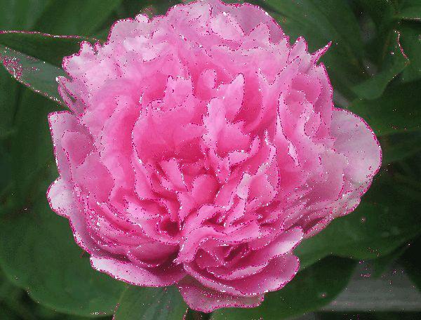 Rose scintillante
