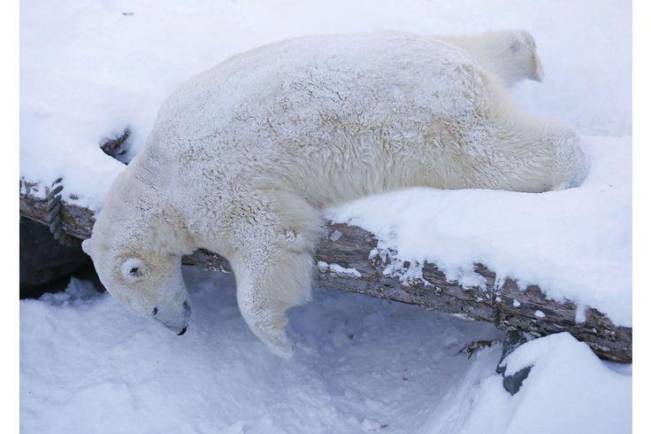 BILLEDSERIE: Isbjørne fejrer nytår med sneboldkamp   Nyheder   DR