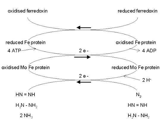 Nitrogen fixation                                                                                                                                                                                 More