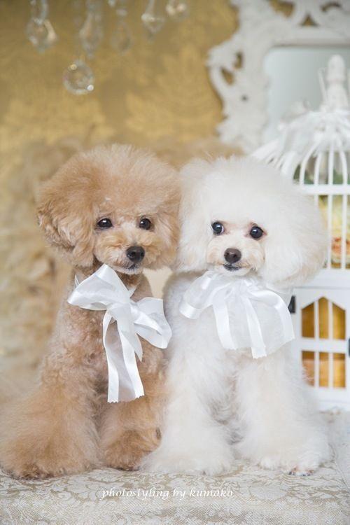 Peaches and Cream dogs