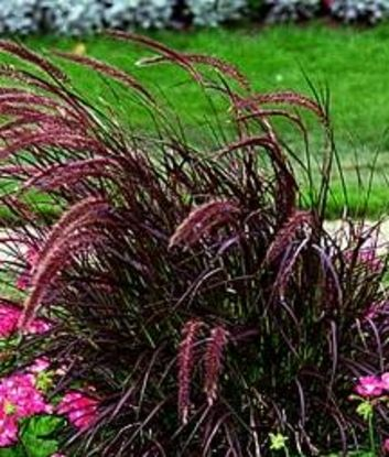 25 best ideas about perennial grasses on pinterest for Red ornamental grass plants