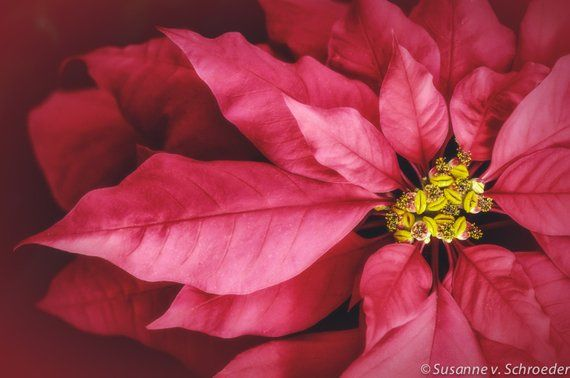 A Close Up Of A Red Poinsettia Flower A Symbol Of Christmas And Winter Holidays Title Red Poinsettia This Lis Flowers Photography Poinsettia Flower Flowers