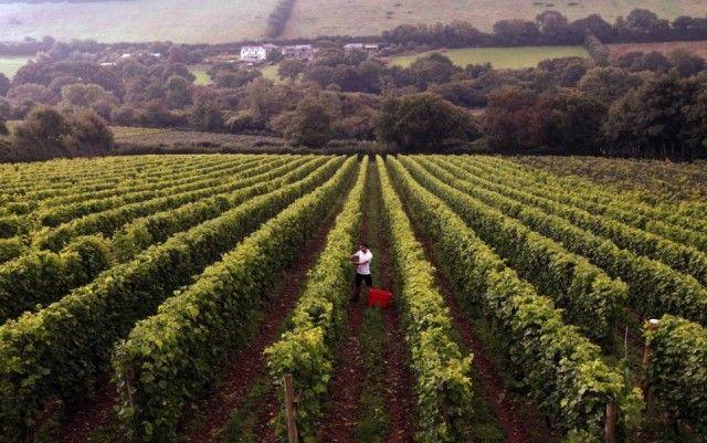 Camel Valley's winemaker Sam Lindo begins the 2013 harvest. Credit: SWNS