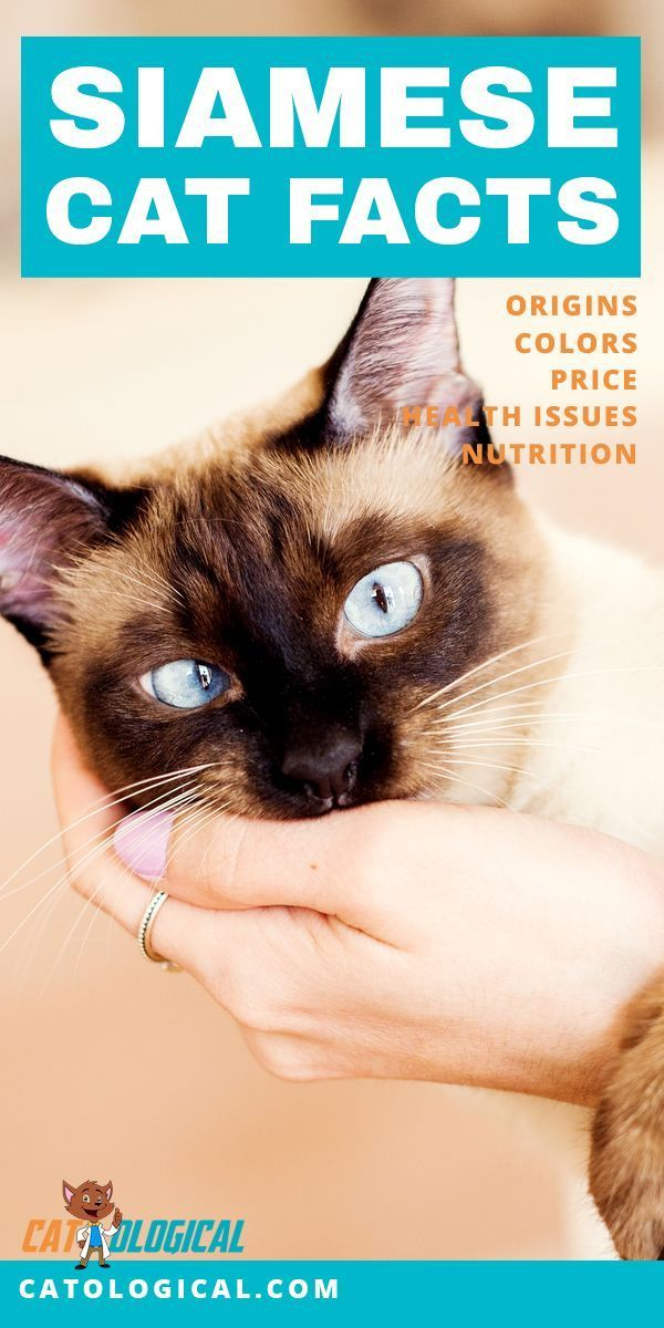 Siamese Cat Facts Colors Health Issues Nutrition And More