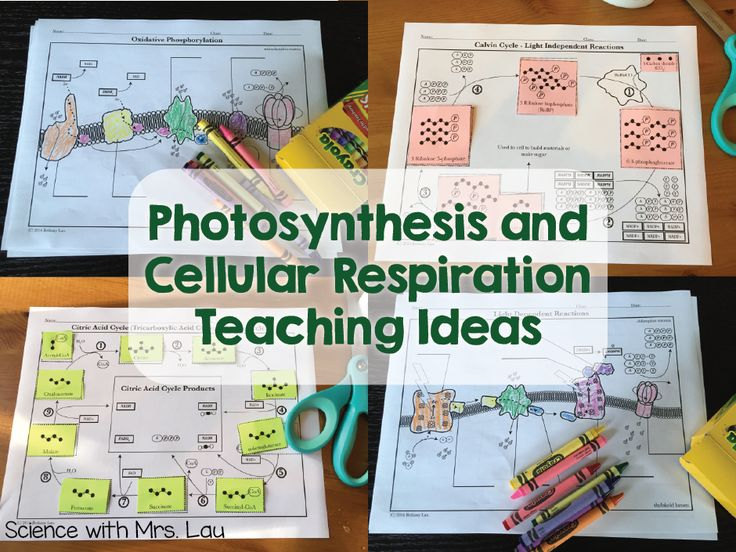 Check out these high school teacher ideas for teaching photosynthesis and respiration with animations and hands-on activities