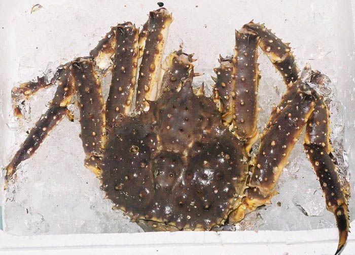También denominado Centollo de Alaska, en inglés Red King Crab, (Cangrejo Rojo Real) y cuyo nombre científico es Paralithodes camtschaticus es una especie ...