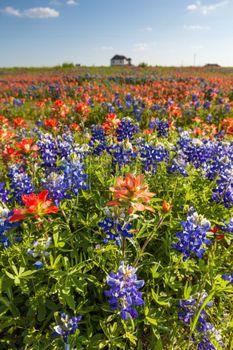 fleur sauvage: Texas fleurs sauvages - bluebonnet et le pinceau indien déposé à Ennis