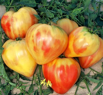 ORANGE RUSSIAN tomato is a big beautiful heart shaped bicolor. Seeds from Tomato Grower's Supply.