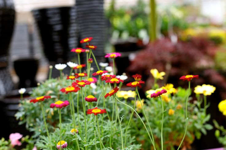 Argyranthemum 'Meteor Red' - Great colour throughout summer until first frost. Deadhead regularly. www.thepavilion.ie