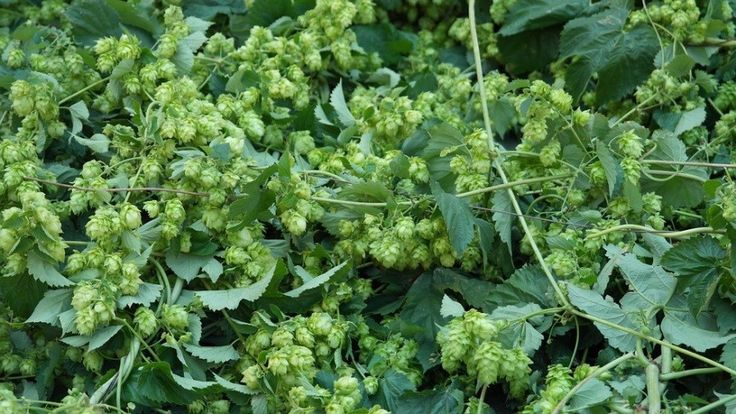 Trying to find the latest and greatest technique in making beer? Read about steeped hops...