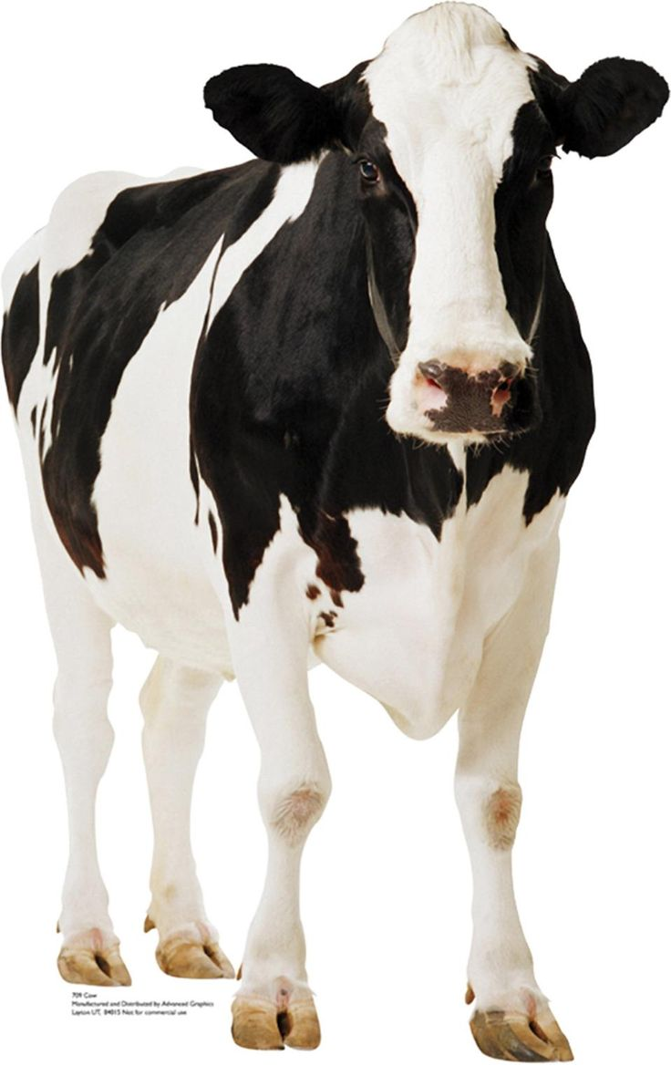 holstein cow photography - Google Search