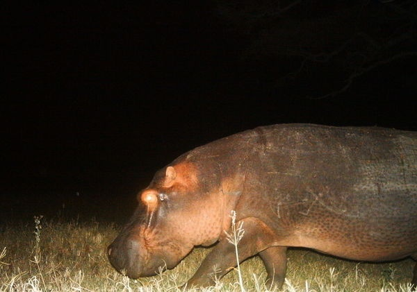 My second hippopotomus.. and on the same night as the first. It might even be the same animal returning on its path.