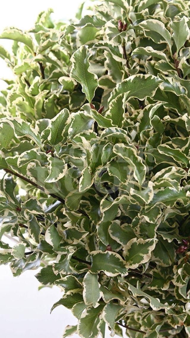pittosporum nigra verde pinterest flowers green