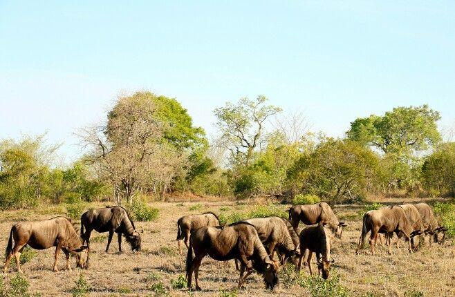 "A herd of Blue Wildebeest or ""gnu""."