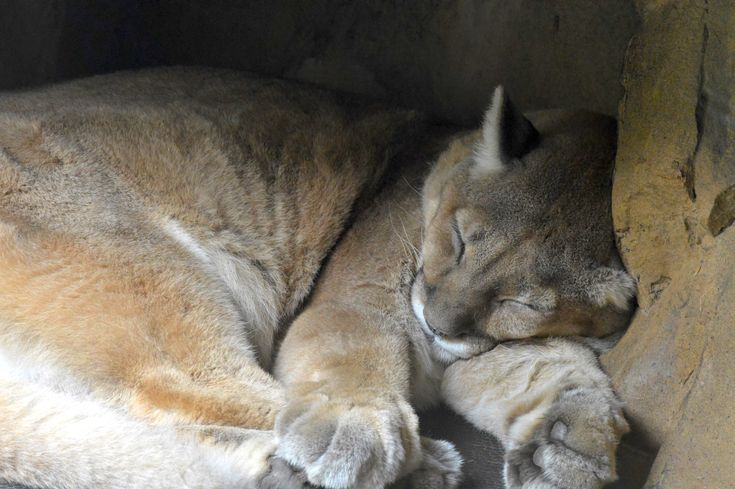 Scientists are studying the sleep habits of mountain lions to help protect the cats from habitat loss.