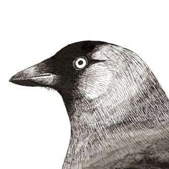Jackdaw Pen & Ink by Ben Farnell  http://ift.tt/2AgNjvo  http://ift.tt/2zVGD4M  #birdartben #penandink #jackdaw #etsy #birds #birdart