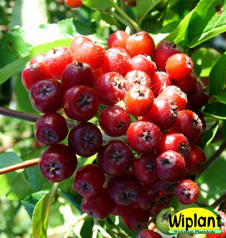 Sorbus 'Granatnaja', Sötrönn. Mörka blad, röda ätliga frukter. Höjd: 3-4 m.