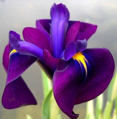 Iris.. My favorite flower because it's my daughter's name..