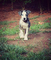 Catahoula Cur - Wikipedia, the free encyclopedia