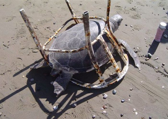 Adult-breeding-age-turtle-found-dead-and-trapped-in-a-beachchair