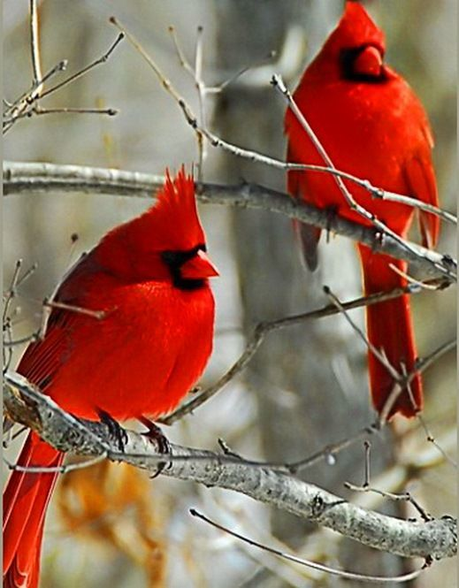 Some say, if you see a red bird you'll have good luck.