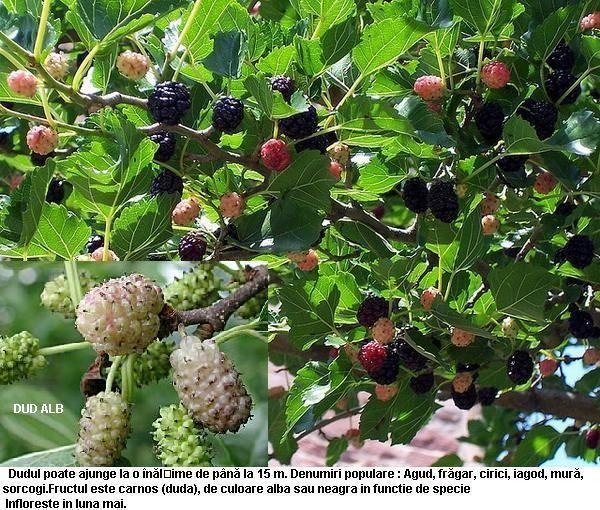 ierburi de remedii folclorice din varicoză)
