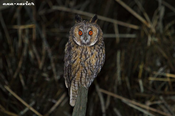 Bufo-pequeno, Long-eared Owl (Asio otus) - em Liberdade [in Wild] | by xanirish