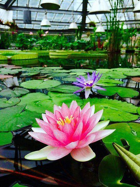 В Ботаническом саду для посещения открыта водная оранжерея с самой большой кувшинкой в мире  В цветущем музее всё лето открыты двери Викторной оранжереи, где плавают кувшинки, цветут лотосы и другие растения, которые жить не могут без воды. А главным украшением водного маршрута считается крупнейшая кувшинка — виктория амазонская.  С наступлением лета в Ботаническом саду для посещения вновь открыли одну из жемчужин зелёного музея — Викторную оранжерею, которая впервые приняла гостей после…