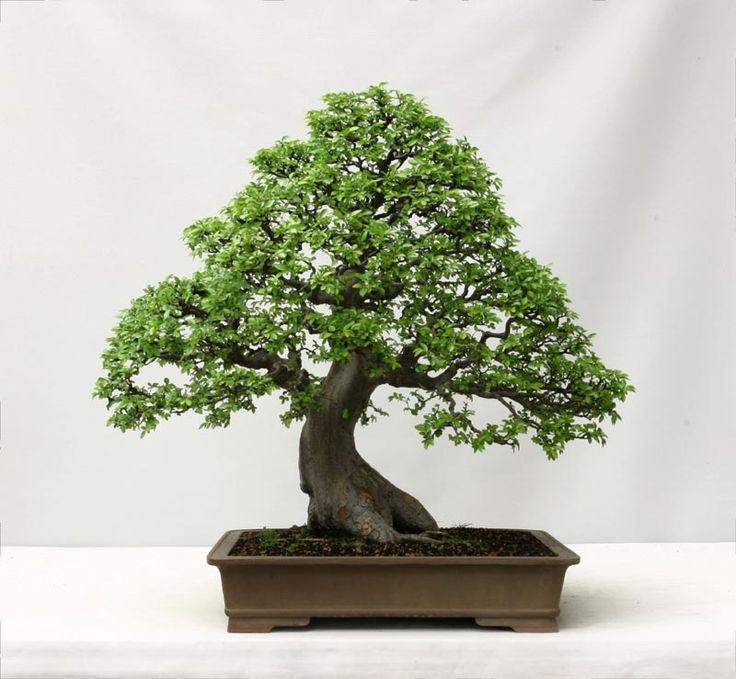The Chinese Elm is one of the most common varieties of Bonsai. Description from plantsandtreesonline.co.uk. I searched for this on bing.com/images
