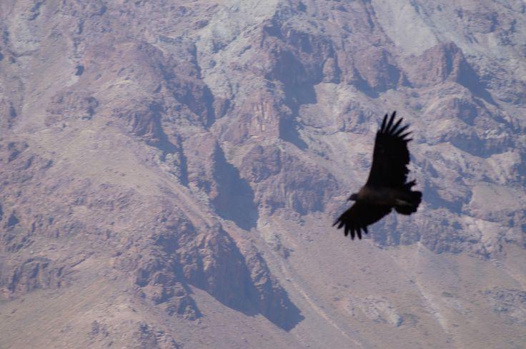 Cóndor Chileno en pleno vuelo. Valle Nevado.