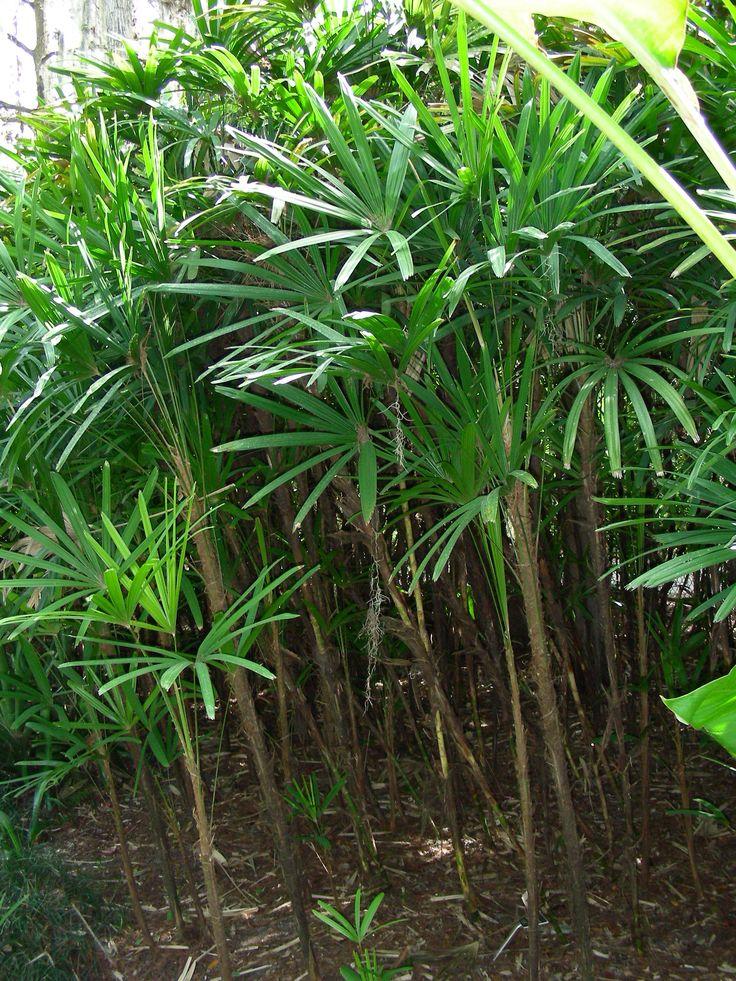 17 best images about palm trees in landscape design on. Black Bedroom Furniture Sets. Home Design Ideas