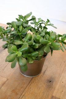 hana posy tips for caring for jade plants home and garden pinterest jade plant care. Black Bedroom Furniture Sets. Home Design Ideas